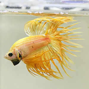 Yellow Crown tail ,( 크라운) 2